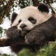 PandaTheBear